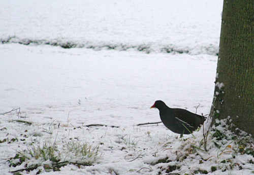 Moorhen venturing out into snow from behind a tree