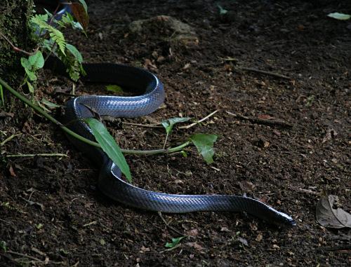 Mussurana Snake