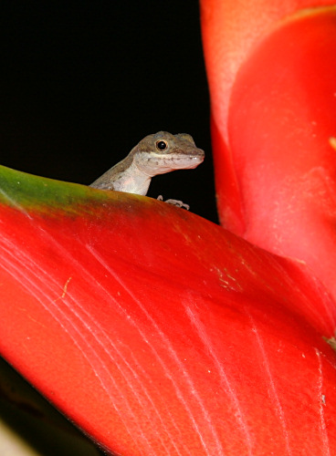 Lizard in Heliconia