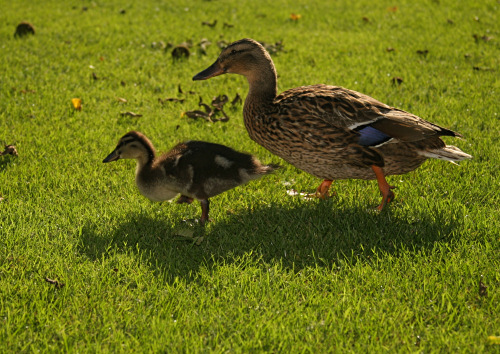 Duckling and mother