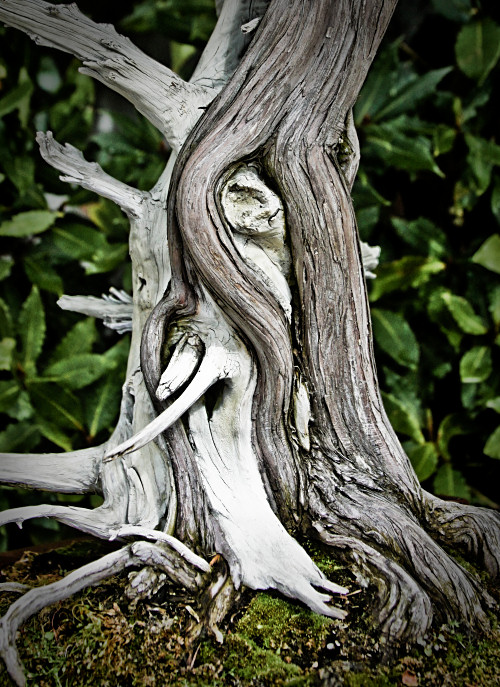 Textured wooden bark of bonsai tree