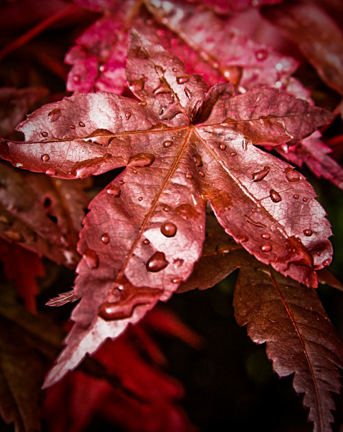 Water droplets on red leaf of bonsai tree