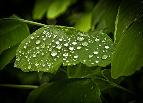 Water droplets on bonsai leaf