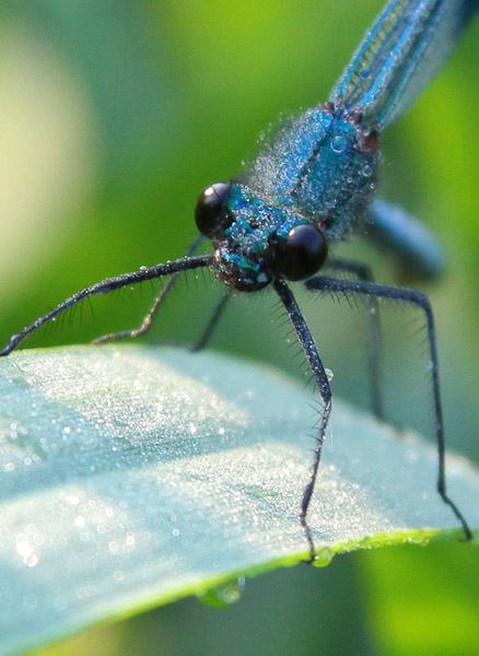 Damselfly covered in dew drops