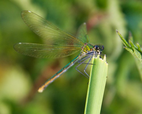 Damselfly eating