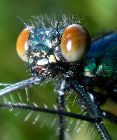 Macro close-up of damselfly's head
