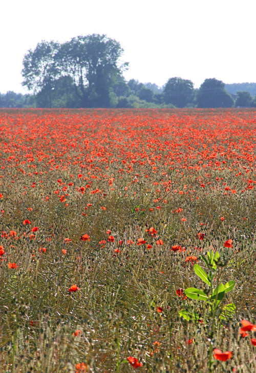 Poppy Field near Cambridge