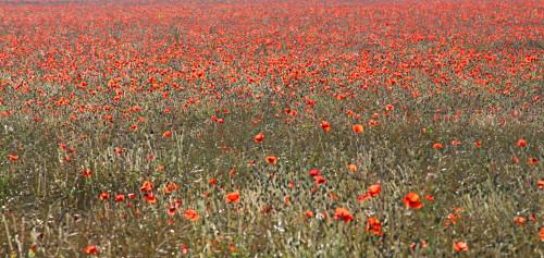 Poppy field near Cambridge