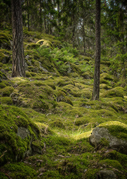 Moss-covered boulders in Swedish forest