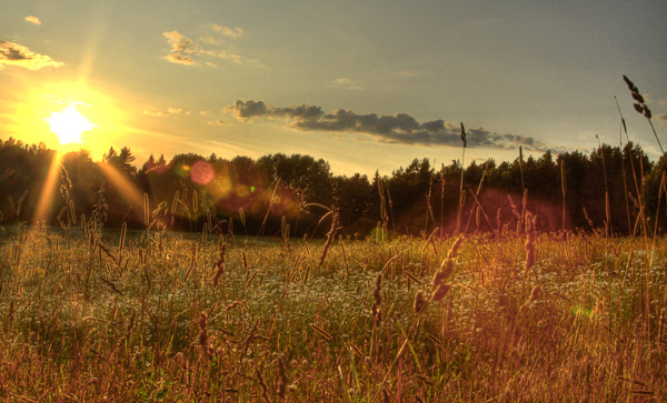 Sunset in meadow of wild grasses, Sweden