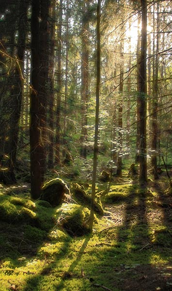 Sunlight streaing through trees, in Swedish forest