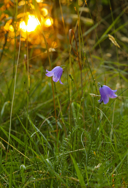 Bluebells at sunset in a meadow, Sweden